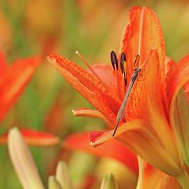 Debbie Oppermann - Orange Lily With Damselfly