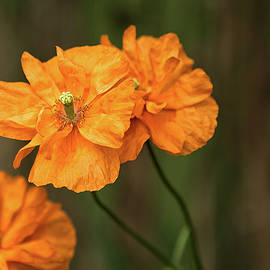 Robert Murray - Orange Poppies