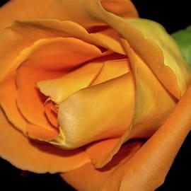 Jennifer Wick - Orange Rose-6