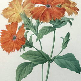 Pierre Joseph Redoute - Orange Rose Campion