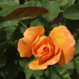 Reagan Ross - Orange Rose