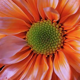 Orange Sherbet by Judy Vincent