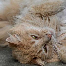 Orange Tabby Cat Laying Upside Down 101520157257 by WildBird Photographs