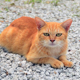 Catherine Sherman - Orange Tabby Kitten in the Bahamas