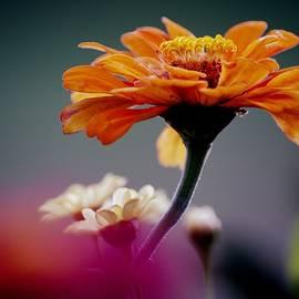 Orange Zinnia by Joan Han