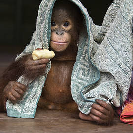 Orangutan 2yr Old Infant Holding Banana by Suzi Eszterhas
