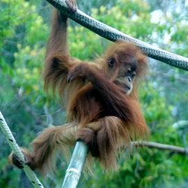 Orangutan Baby Sd Zoo 2015 by Phyllis Spoor