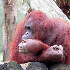 Orangutang Contemplating by Rosalie Scanlon
