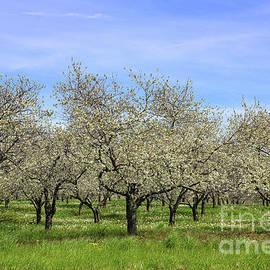 Rachel Cohen - Orchards of Traverse City