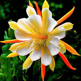 Orchid Cactus Epiphyllum by Brian Tada