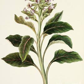 Oriental Hyoscyamus - Margaret Roscoe