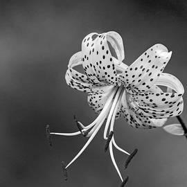 Steve Harrington - Oriental Tiger Lily bw