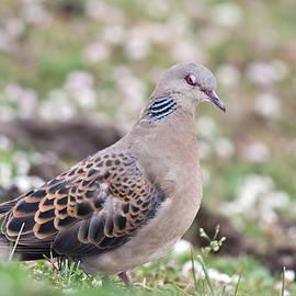 Mihir Joshi - Oriental Turtle Dove
