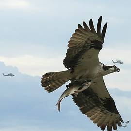 Osprey And The Helos by Ola Allen