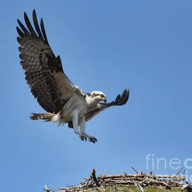 Osprey Approaching Nest by Michelle Tinger