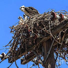 Osprey Family by Robert Bales
