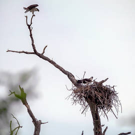 Brian Wallace - Osprey In A Tree