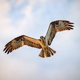 Osprey In Flight by Rick Berk