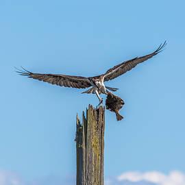 Marv Vandehey - Osprey Landing with Flounder