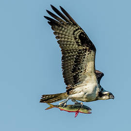 Osprey with Fish by Morris Finkelstein