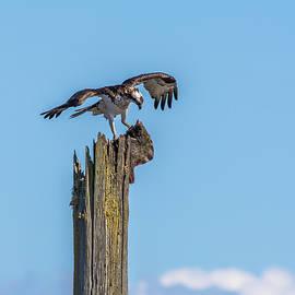 Marv Vandehey - Osprey with Flounder
