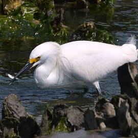 Out To Lunch With A Snowy Egret  by Dan Williams