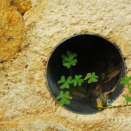 Oxalis In The Wall Drain by Jane Gatward