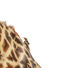 Oxpecker on Giraffe With Copy Space - Susan Schmitz