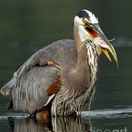 Pacific Great Blue Heron - with its catch by Sue Harper