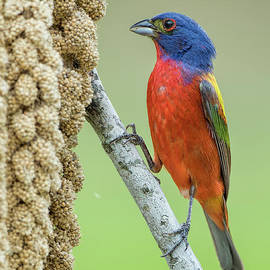 Painted Bunting Male Eating Millet by Bonnie Barry