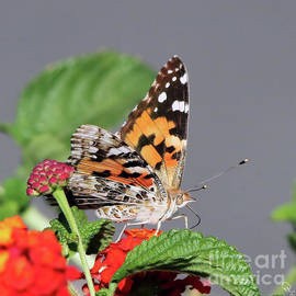 Cheryl Gidding - Painted Lady Butterfly 9171