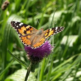 Painted Lady Vanessa cardui by Richard Brookes