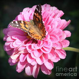 Painted Lady Butterfly on Pink Zinnia by Dora Sofia Caputo