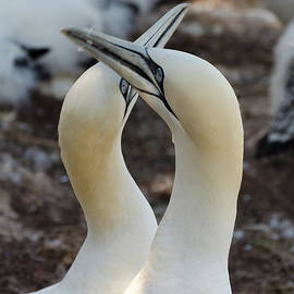 Pair Of Northern gannets by Les Palenik