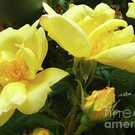 Cindy Treger - Pair Of Sunny Knock Out Roses