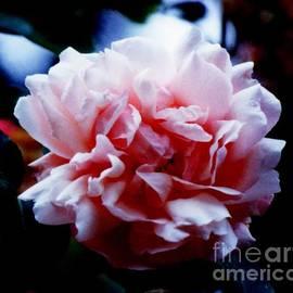 Jane Gatward - Pale Pink Antique Rose