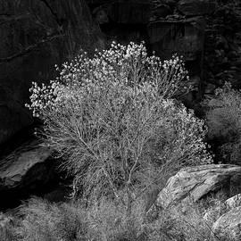 Palm Canyon Cottonwood by Joseph Smith