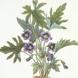 Palmate leaved Violet - Margaret Roscoe
