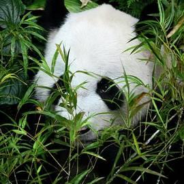Imran Ahmed - Panda bear lies among foliage eating bamboo shoots