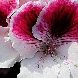Pansies in Springtime by Arlane Crump