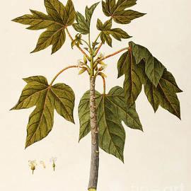 Papaya Tree - Angela Rossi Bottione