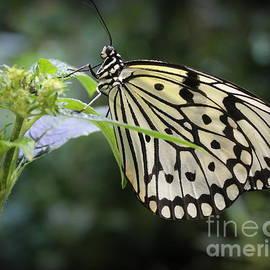 Paper Kite Butterfly by Dora Sofia Caputo