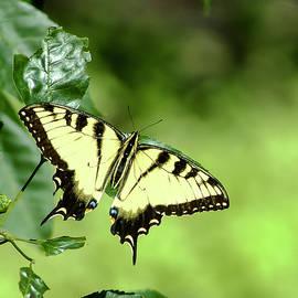 Norman Johnson - Papilio Glaucus