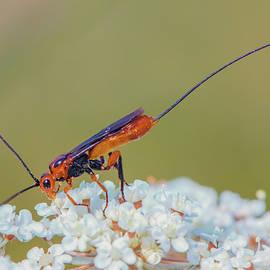 Parasitoid wasp - Glyptomorpha pectoralis by Jivko Nakev