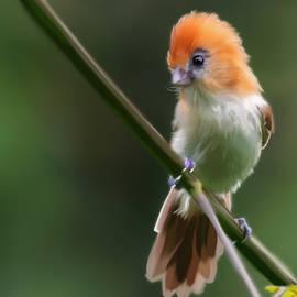 Kendall Tabor - Parrot Bill Bird