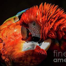 Mitch Shindelbower - Parrots
