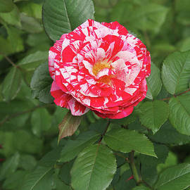 Judy Whitton - Party Rose #3