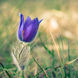 Andreas Levi - Pasque Flower