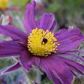 Jimmy Chuck Smith - Pasque Flower