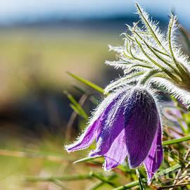 Torbjorn Swenelius - Pasque Flower